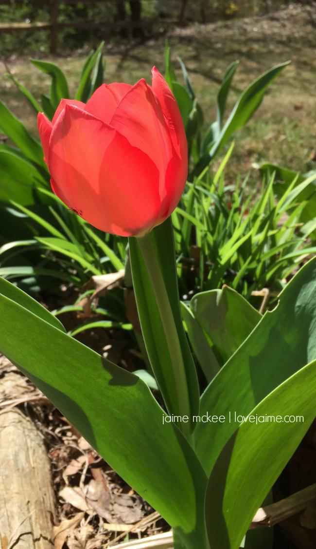 friday5-tulips-Mar16