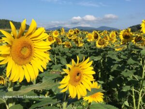 Weekend adventures: birthday celebrations, sunflowers and apple orchards